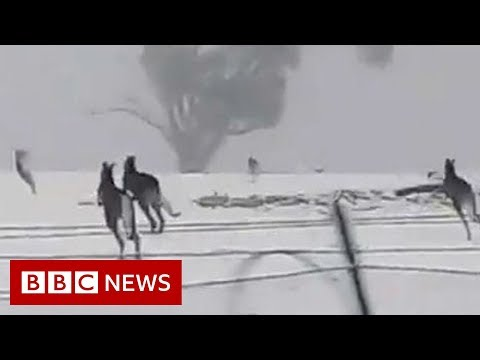 Kangaroos enjoy rare snow in Australia - BBC News