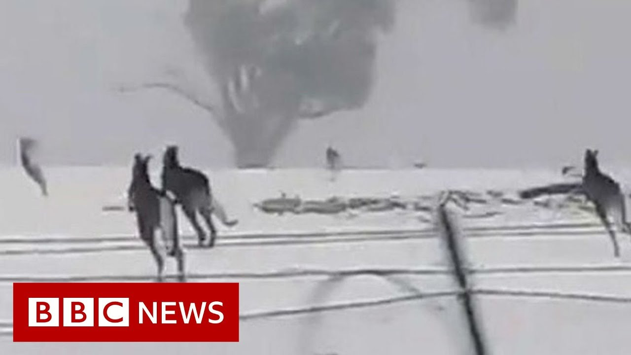 BBC News:Kangaroos enjoy rare snow in Australia - BBC News