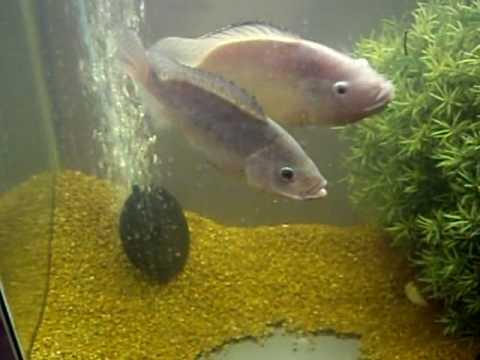 Blue tilapia in 55 gallon tank spawning youtube for Tilapia aquarium