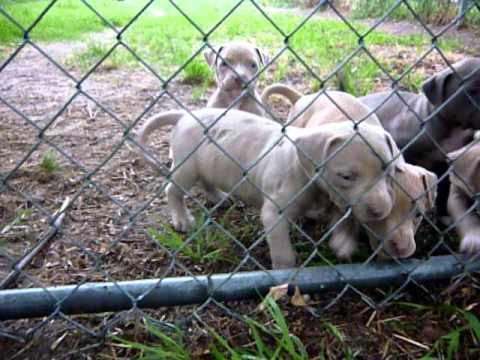 Red Nose Pit Bull Puppies For Sale www.PitBullPuppiesForSaleTexas.com