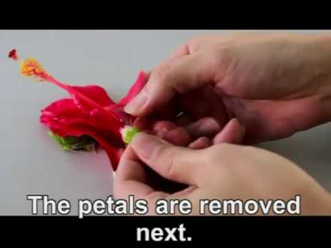Dissection Of A Hibiscus Flower Youtube