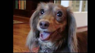 Reecie - Cute Playful Long Haired Dachshund!