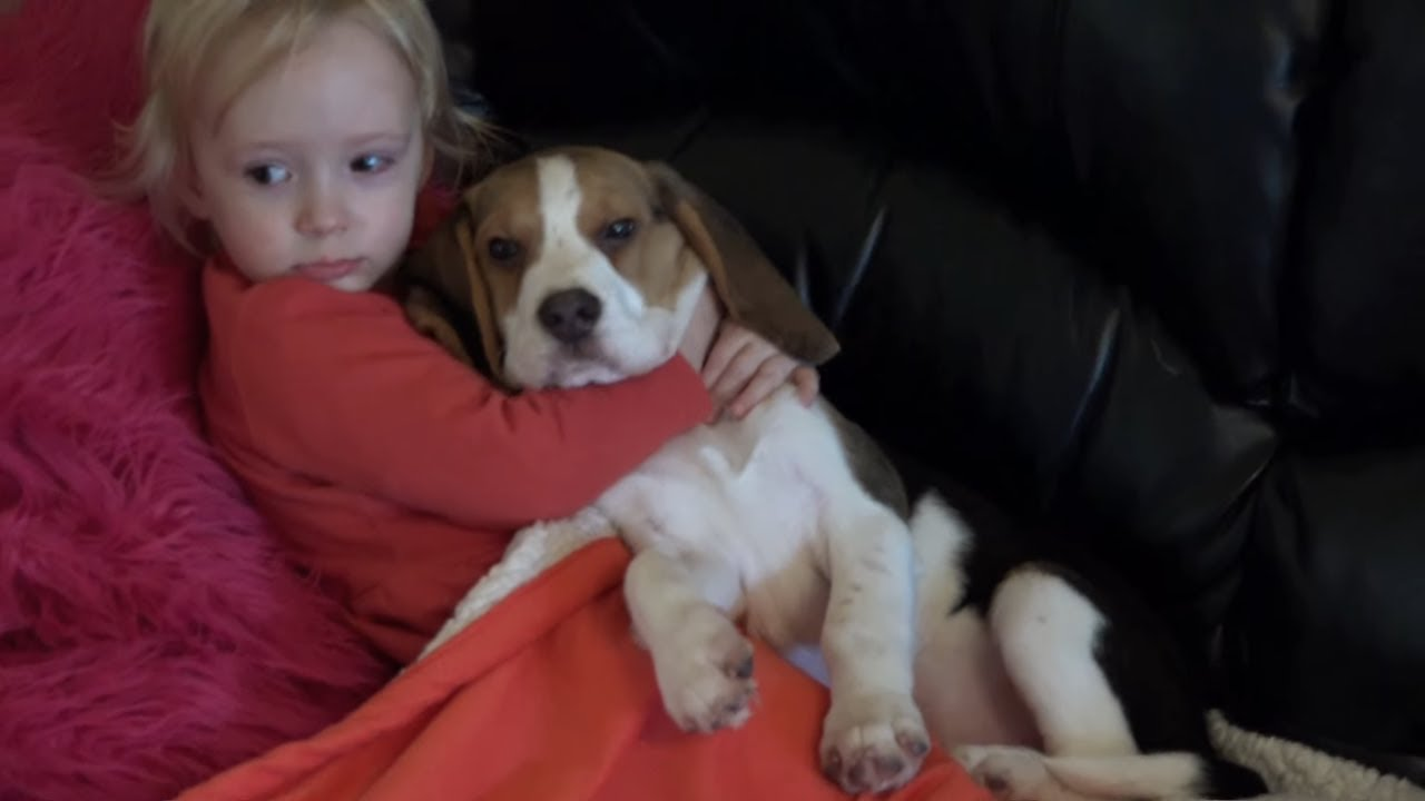 Beagle are the Cutest Snuggle Dogs | Cute Dogs Hug Baby
