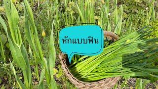 หักมันส์ไม่แพ้ผักบุ้งต้นใหญ่อวบมากดอกกระเทียมโทน#Picking wild onions.1/6/21.