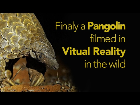 First 360 VR film of a Pangolin in the wild.