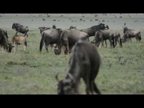 Ngorongoro Conservation Area, Wildebeest Migration, Tanzania