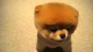 Собака ежик = порода Акита   Ину Хатико