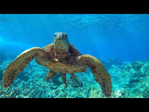 8 Hours Relaxing Sea Turtles in Hawaii   Great Escapes