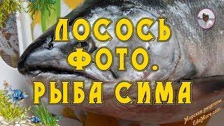Лосось фото. Рыба Сима фото и видео от Petr de Cril'on & SonyKpK