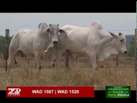 LOTE 68 - WAD 1507 | WAD 1520