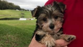 Yorkie Poo Pup for sale in Florida
