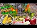 Ini  Makanan Burung Love Bird Biar Cepat Gacor Terbukti   Mp3 - Mp4 Download