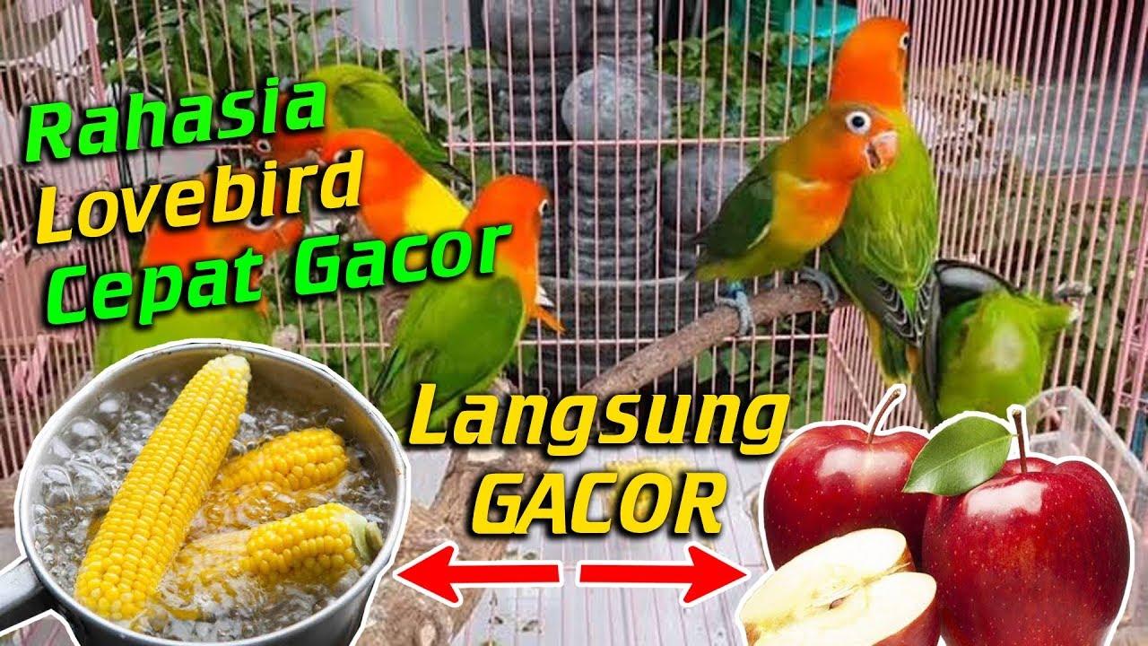 Ini 5 Makanan Burung Love Bird Biar Cepat Gacor Terbukti 100