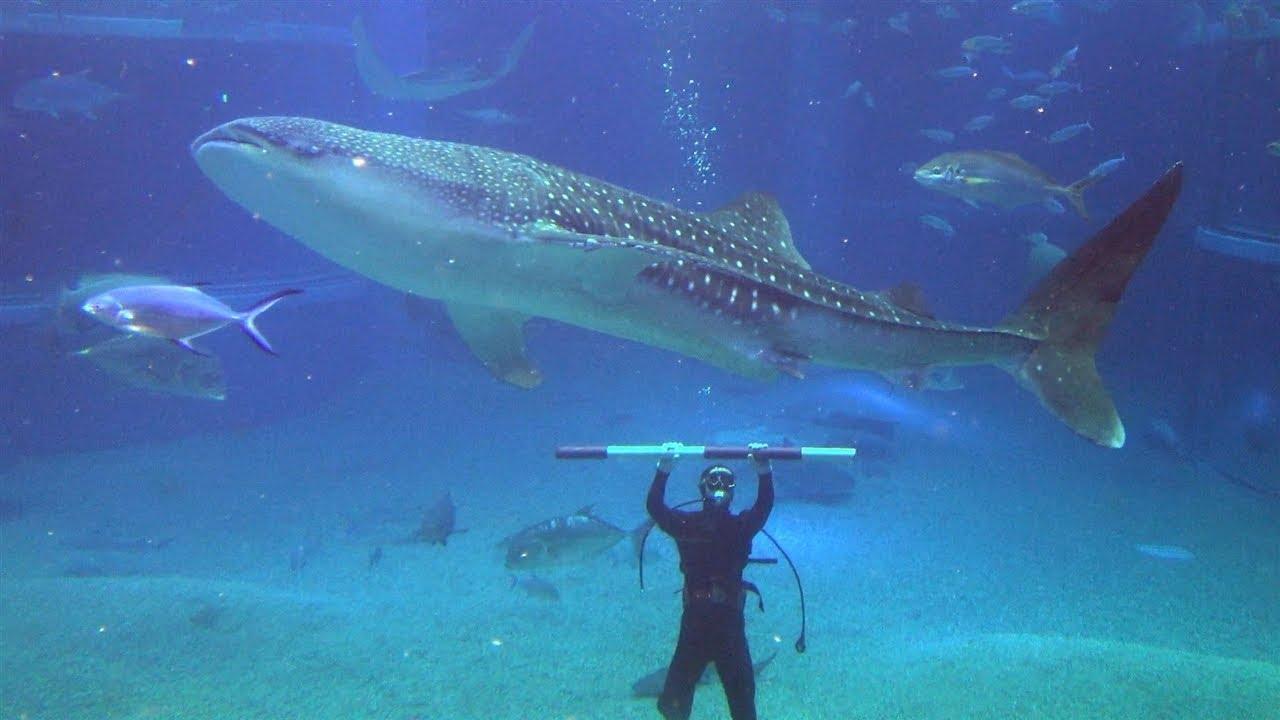海 遊館 ジンベイザメ