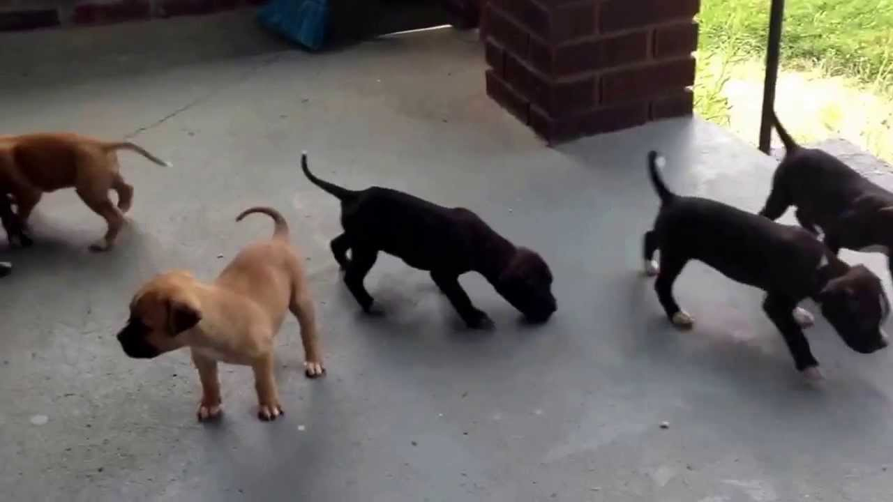 Red Nose Pitbull Puppies