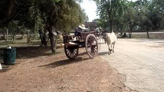 oxcart parade Sukhothai  牛車の行進@スコータイ (2)