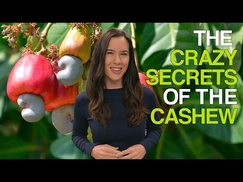 The Crazy Secrets Of The Cashew Why Cashews Are Never Sold In Their