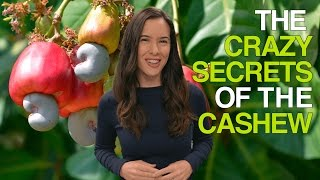 The Crazy Secrets of the Cashew (Why Cashews Are Never Sold in Their Shells)