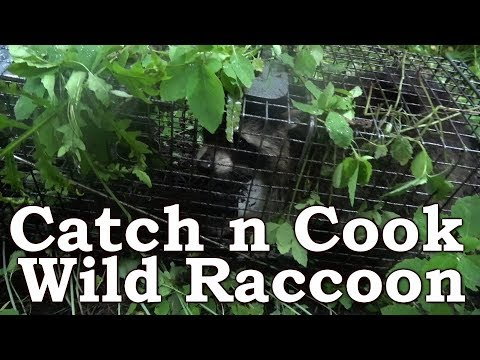 Catch n Cook Raccoon | Learn Cleaning & De-Glanding | Cooking The Native American Way
