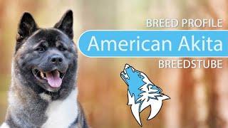 American Akita [2020] Breed, Temperament & Personality