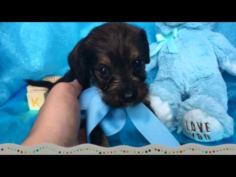 Toby, The Cocker Schnoodle Puppy For Sale In NC!