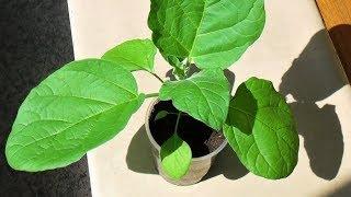 Как я выращиваю рассаду баклажанов