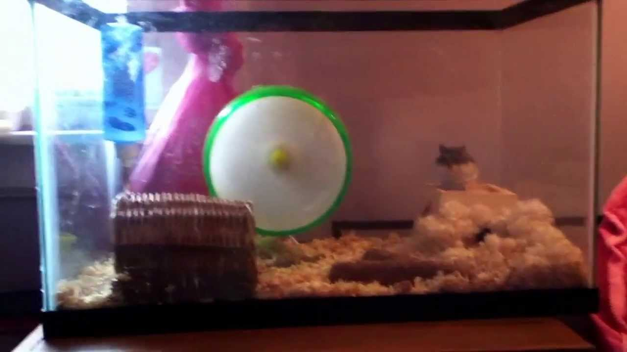 How to make a fish tank into a hamster habitat youtube for Fish tank for hamster