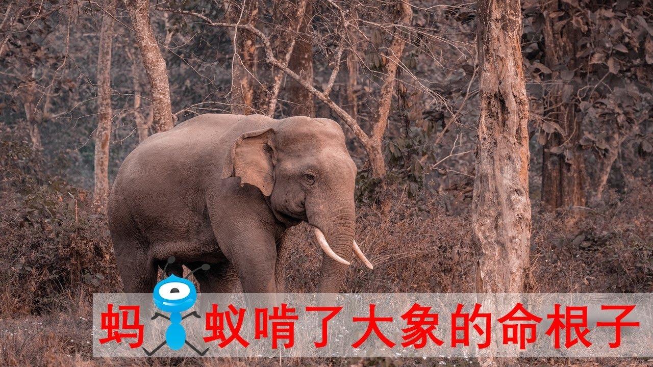 No.55 蚂蚁啃了大象的命根子