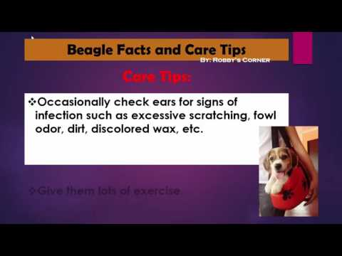 Beagle Facts and Care Tips