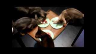 Натуральное питание кошек. Перепелки как еда для кошки.