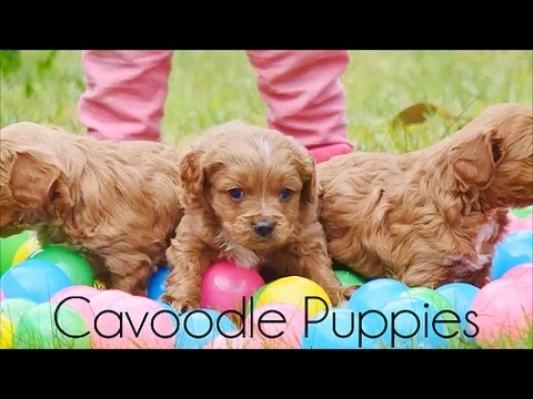 Cavoodle Puppies and Kids