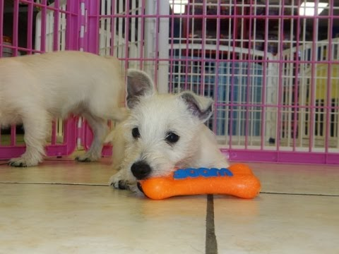 West Highland Terrier, Puppies For Sale, In, Richmond, Virginia, West, VA, Newport, County, Alexandr