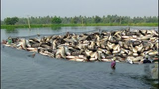 LOT OF CATLA/ROHU FISH CATCHING AT POND