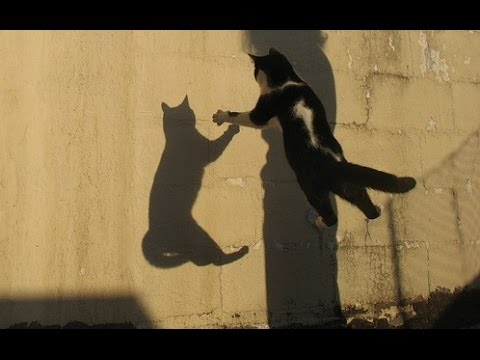 Cats Chasing Shadows Compilation || CFS