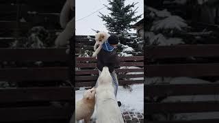 Щенок Алабая средниазиатской овчарки девочка Айгюль,( нужно купить щенка)