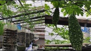 Khổ qua trồng 2 bình 5 lít đang ra trái bổ sung thêm phân hạn chế trái bị vàng | Khoa Hien 347