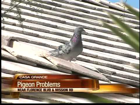 Birds becoming dangerous in Casa Grande