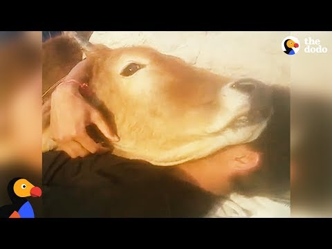 Cow Lies Down Guy For The Best Snuggle Session Ever | The Dodo