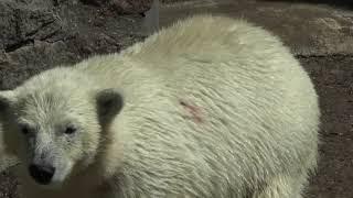 Белый медвежонок купается, тигры жрут мясо! Николаевский зоопарк