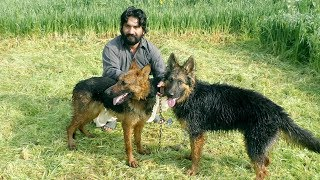 Best German Shepherd Double Coat Dog New Histricl dogs Phar Pur Malik Ajmal Kalrooo 2020