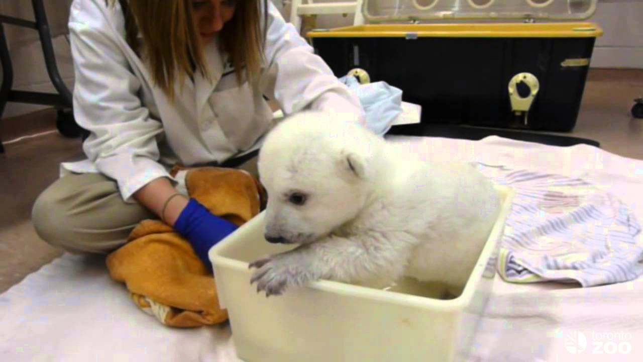 Toronto Zoo Polar Bear Cub Takes First Bath Youtube