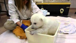 Repeat youtube video Toronto Zoo Polar Bear Cub Takes First Bath