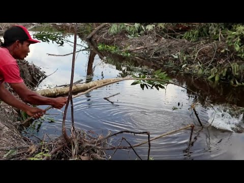 mancing ikan besar di sungai hutan yang baru di buka