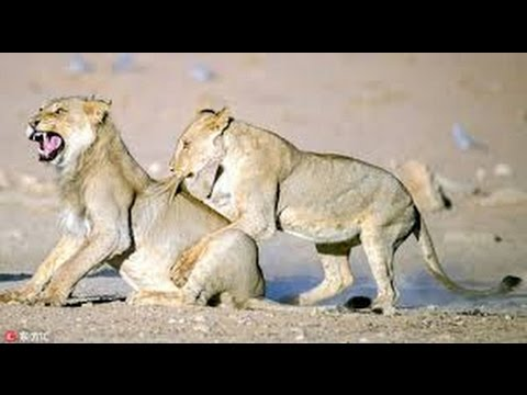 Documentary material BigCats HQ Majestic Lions and more! WIL