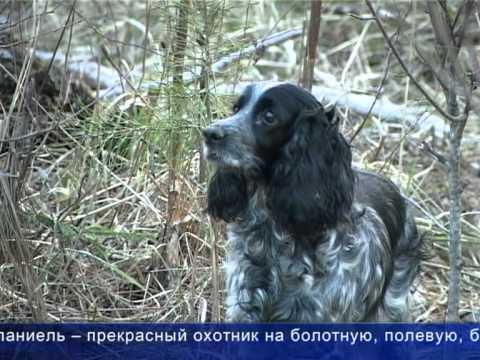 Русский охотничий спаниель 2204 (ТВ сюжет).mpg