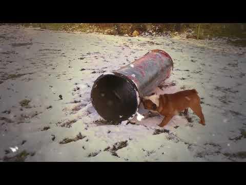 Leonberger Antics episode 114