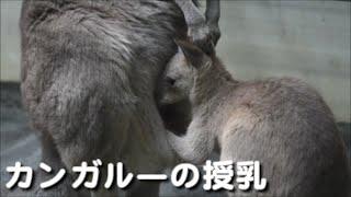 札幌市円山動物園 2016年4月30日(土) オオカンガルー ブログ:http://fo...