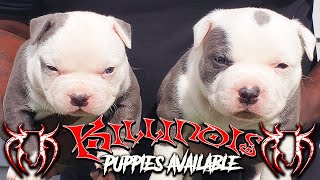 AMERICAN BULLY PUPPIES FOR SALE FROM THE WORLD FAMOUS KILLINOIS KENNELS