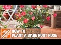 How To Plant a Bare Root Rose | The Home Depot