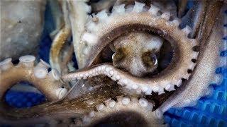 산낙지! 쓰러진 소도 벌떡~ Octopus / てながたこ / 章鱼 [맛있겠다] It looks delicious